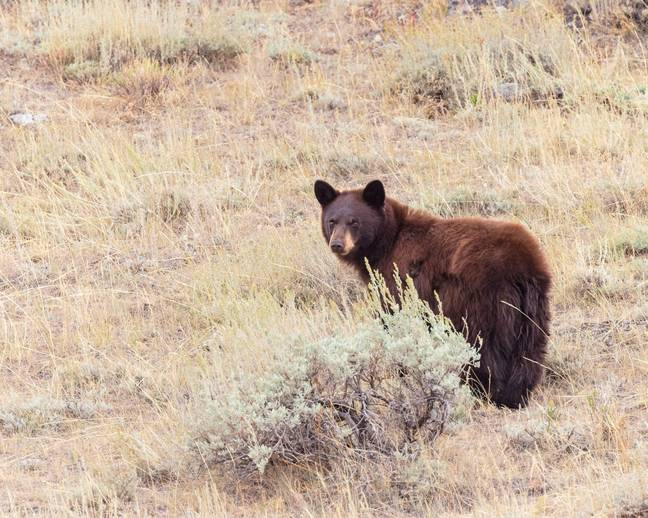 Yellowstone National Park - A cinnamon-colored black bear in Wyoming